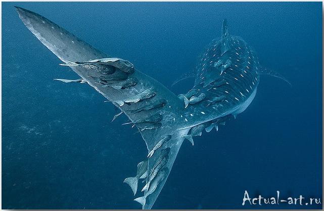 Александр Сафонов: акулам на заметку